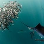 Sailfish predating fish baitball 800x600