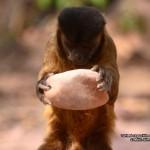 Tufted capuchin cracking nut 800x600