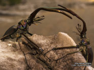 Stag beetles fighting 800x600
