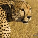 Cheetah 800x600