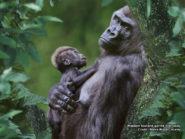 Western lowland gorilla with baby 800x600