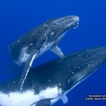 Humpback whale with calf 800x600