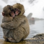 Japanese macaque babies 800x600