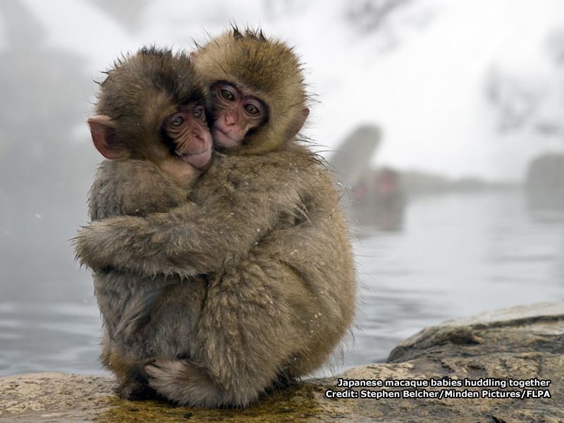 Japanese Macaque Wallpaper Japanese Macaque Babies