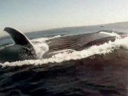 Redondo Beach Blue Whales