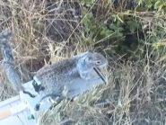 Robosquirrel versus rattlesnake