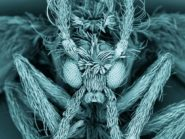 Scanning electron micrograph of a moth fly
