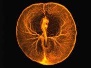 Chicken embryo vascular system