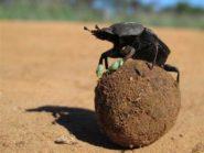 beetles dung balls thermoregulation