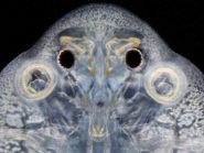 fish louse