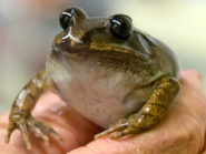 Lazarus-Great-Barred-Frog