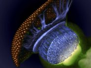 Visual-system-of-a-small-fruit-fly-halfway-through-pupal-development