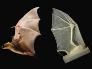 robot-bat-wing