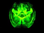 neurons-in-mouse-brain