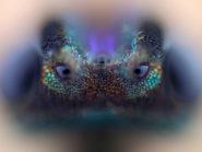 parasitic-wasp-Nikola-Rahme