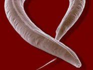 C.-elegans-adult