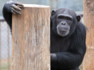Tara-chimpanzee