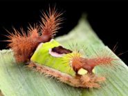Saddleback Poisonous Caterpillar
