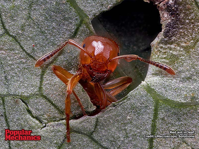 Red Ant wallpaper