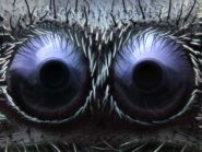 Fram-Schwartz-jumping-spider-eyes