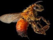The worker Honey Bee may live for a few weeks in the summer and several months in areas with an extended winter.