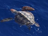 A juvenile Loggerhead 250 miles off the Californian coast for the first time showed scientists where these creatures spend years of their juvenile life. Credit: Paula Olson/NOAA Fisheries