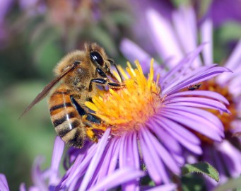 Bee forages for pollen
