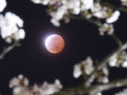 Solar eclipse and cherry blossoms