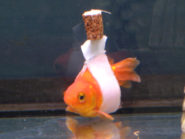 A home-made goldfish wheelchair