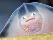 baby undulate ray