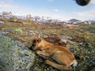reindeer capture images for research