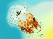 Juvenile Hawaiian Bobtail Squid