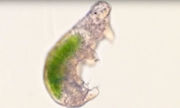 A Tardigrade with Chlorella sp. inside its stomach.