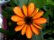 The first flower to grow in space is a Zinnia
