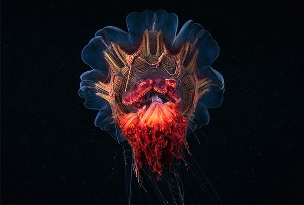 Scyphozoa jellyfish by Alexander Semenov
