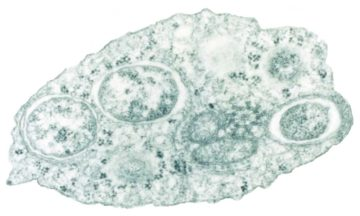 Wolbachia within an insect cell