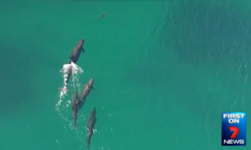 Drone footage shows false killer whales hunting a shark