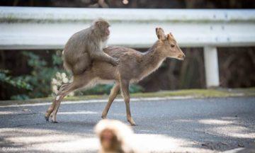Monkeys riding a deer by Alexandre Bonnefoy