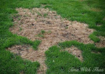How to fix lawn damaged by dog urine