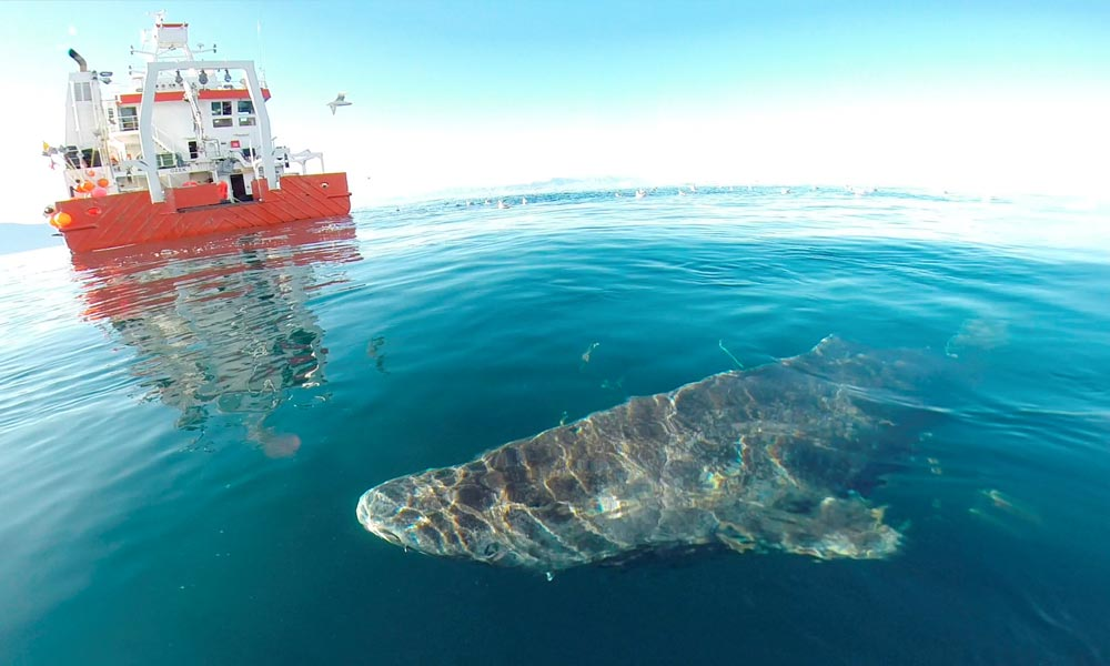 A Greenland shark near the research vessel Sanna in northern Greenland.