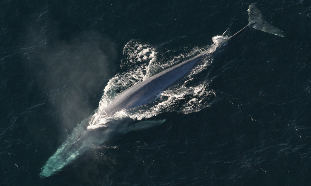 A top-down view of a blue whale - an animal with some of the World's 12 biggest organs