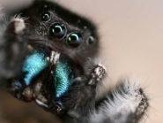Jumping spiders have incredible hearing