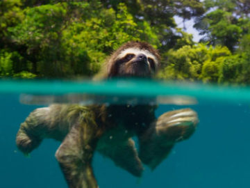 Pictured is a pygmy three-toed sloth from the small Caribbean island called Isla Escudo de Veraguas in Panama. The still is from the BBC's Planet Earth II.
