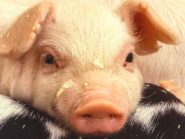 Scientists create human-pig chimera embryos