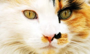 Why are calico cats only female?