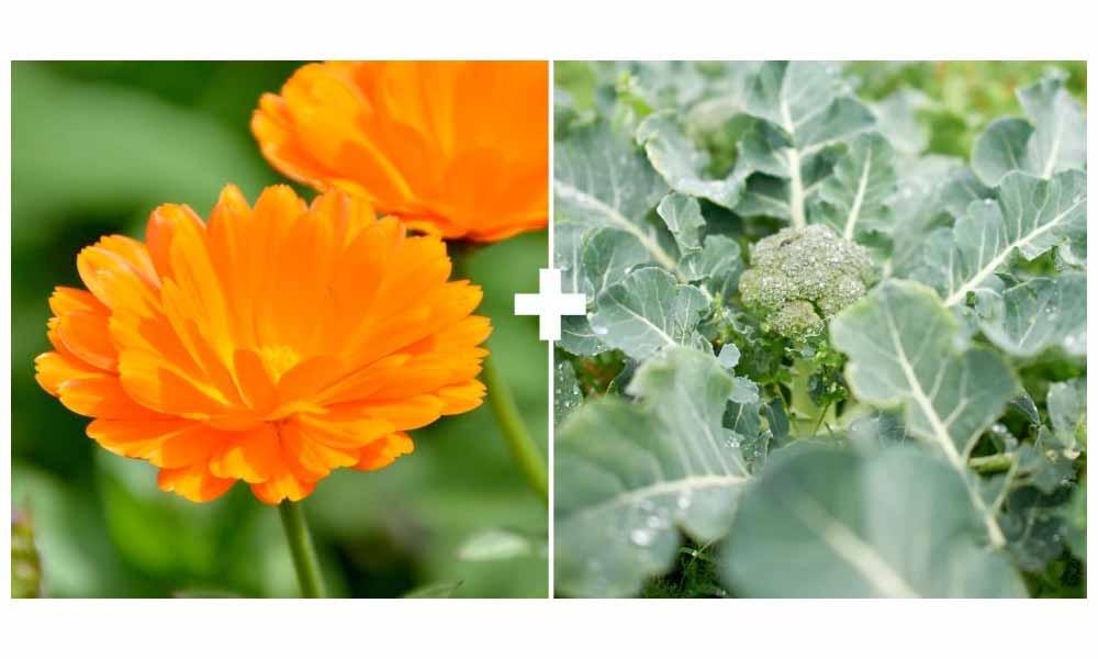 Calendula + Broccoli