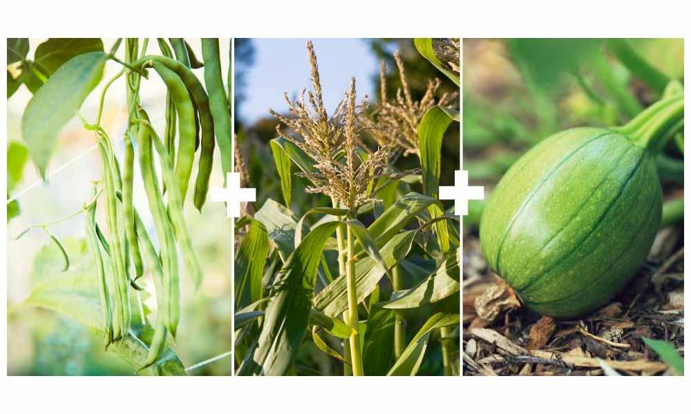 Corn + Pole Beans + Squash or Pumpkin