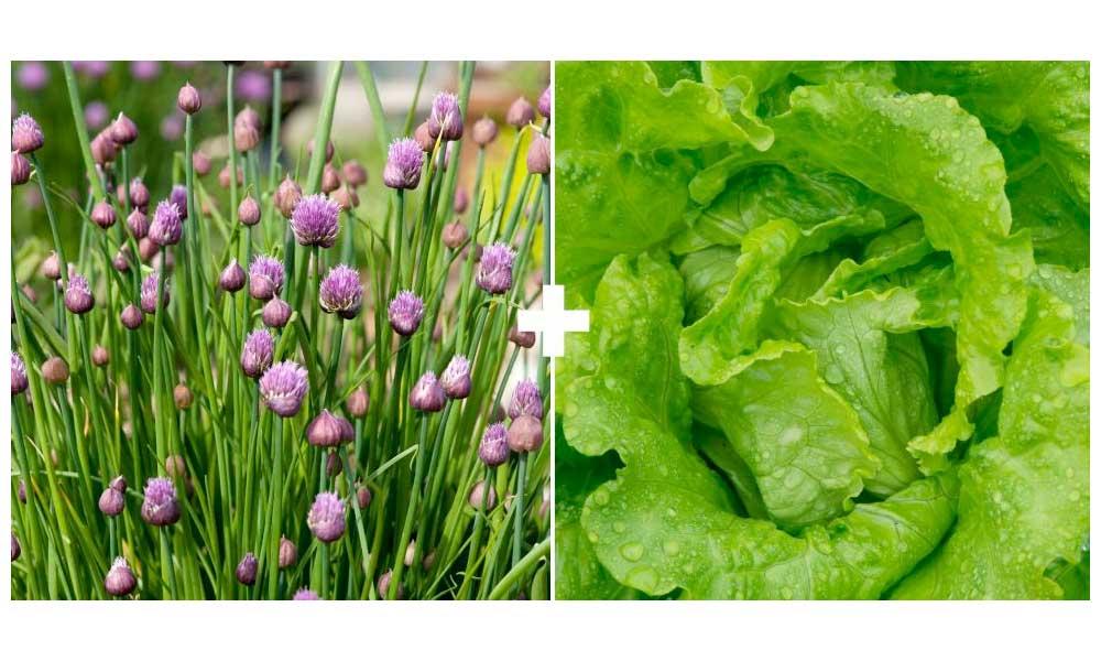 Lettuce + Chives or Garlic