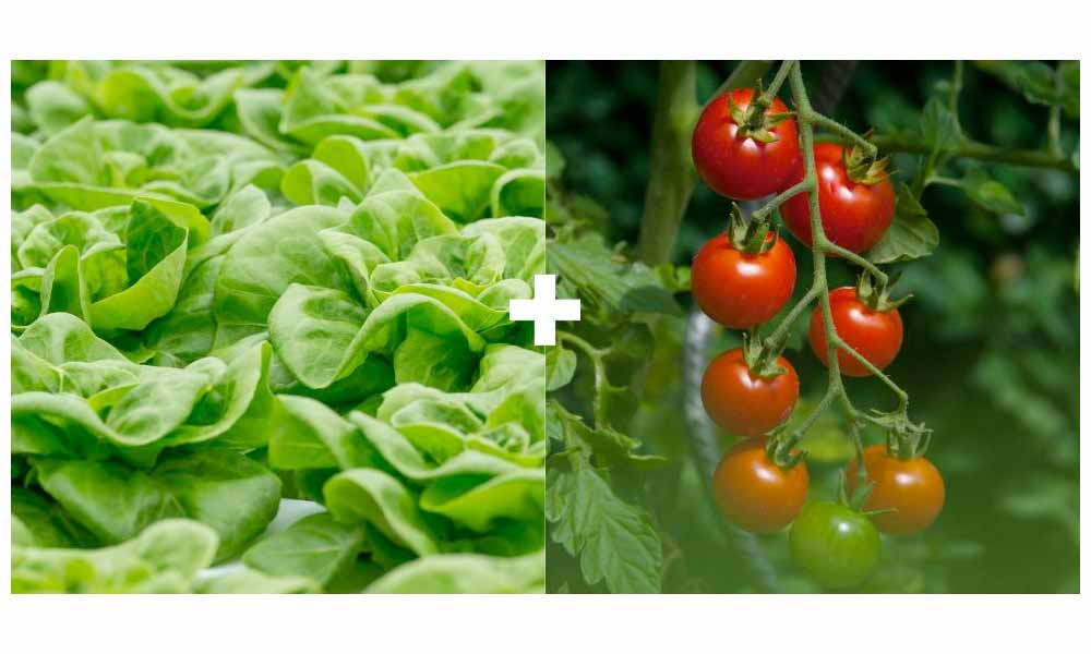 Lettuce + Tomatoes or Eggplants