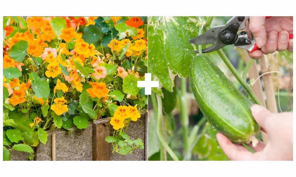 Nasturtium + Cucumber